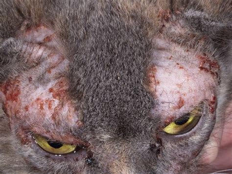 feline skin allergies picture 7
