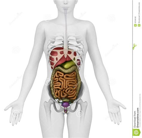 where is the liver in a human body picture 3