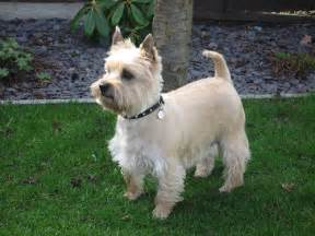 carin terrier hair cuts picture 1