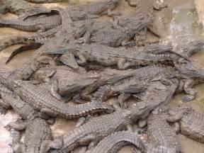 alligators sleep picture 1