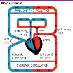 blood circulation picture 1