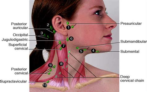 anatomy picture 6