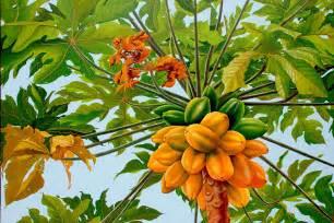 papaya tree picture 21