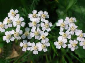 yarrow flower picture 18