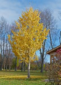 ginkgo tree picture 17