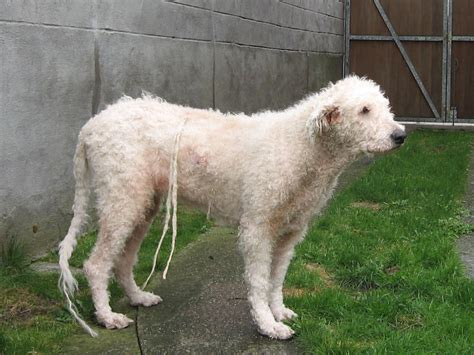 how to cut poodles hair picture 9