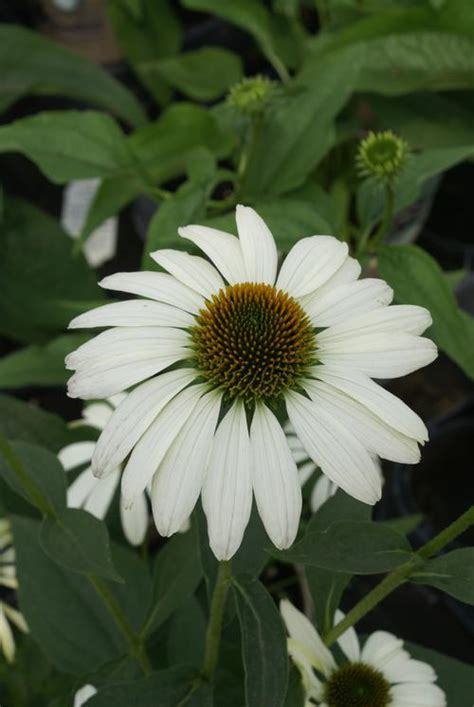 echinacea purp praire splendor picture 5