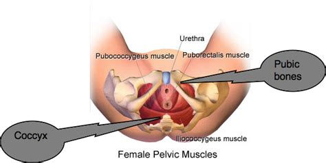 flhow can i locate where my pc muscle picture 3