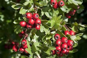 hawthorn berry picture 11