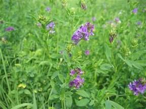 alfalfa picture 9
