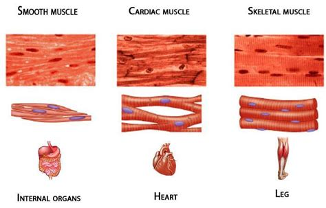 changing slow and fast twitch muscle fibers picture 2
