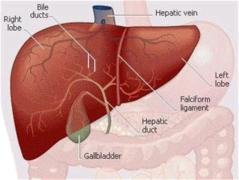 where is the liver in the body picture 5