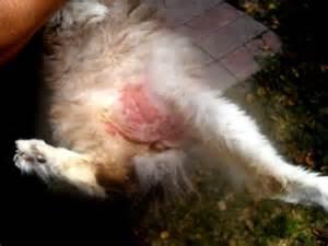 feline skin irritation picture 1