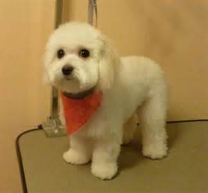 bichon frise hair styles picture 2