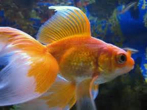 i have separated my fantail gold for tonight picture 4