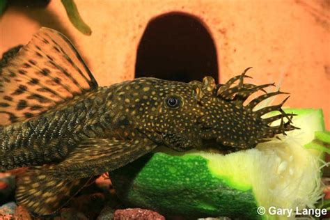 peppermint bristlenose picture 6