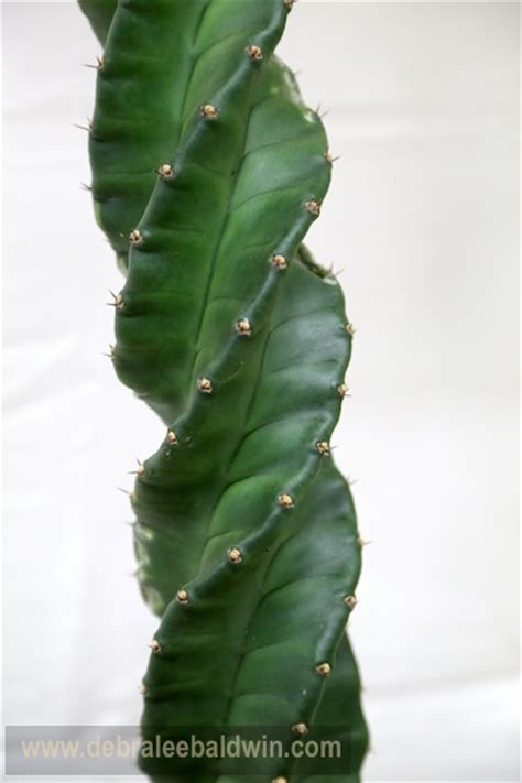 african hoodia picture 9