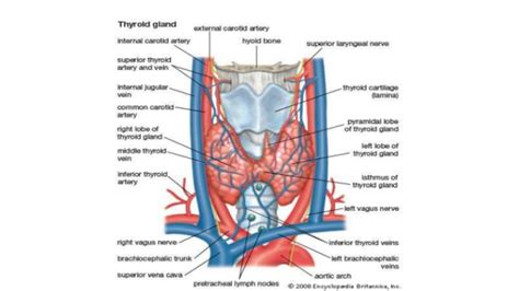 anatomy of the thyroid gland picture 21