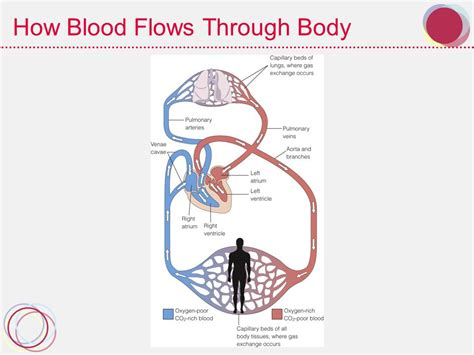 blood flow through the body picture 5