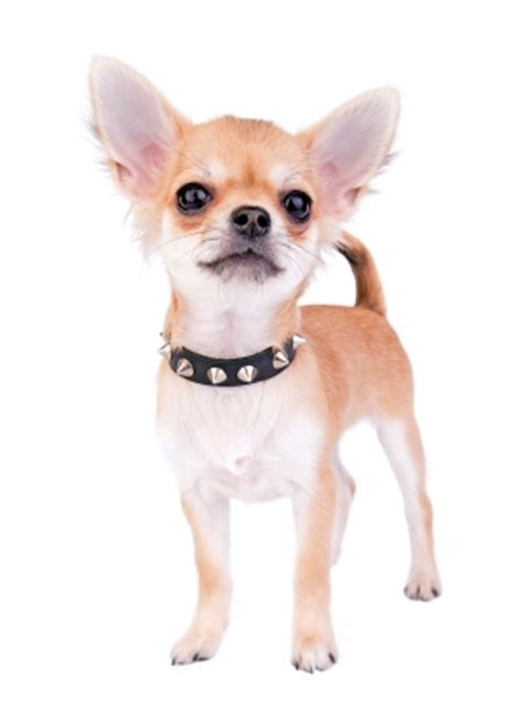 chihuahua diet picture 1