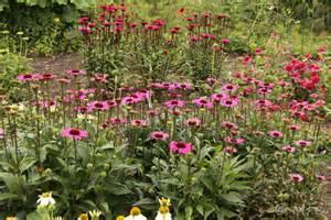 echinacea 'elton knight' picture 1