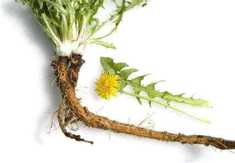 cancer & dandelion root picture 15