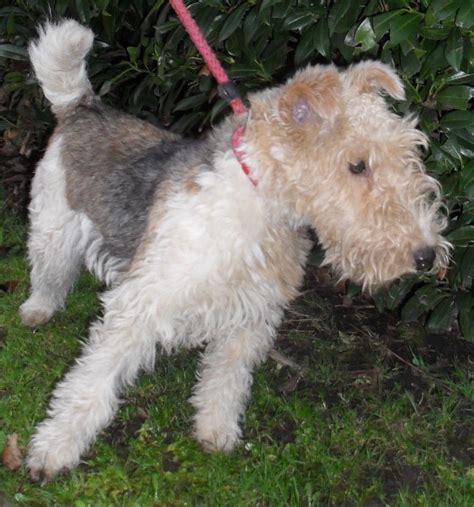 wire hair fox terrier rescue picture 6