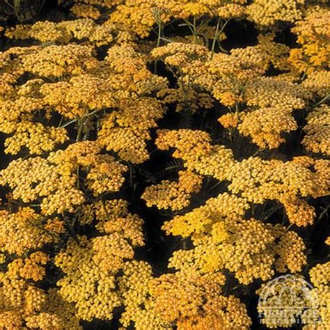 deadhead flowers yarrow picture 7