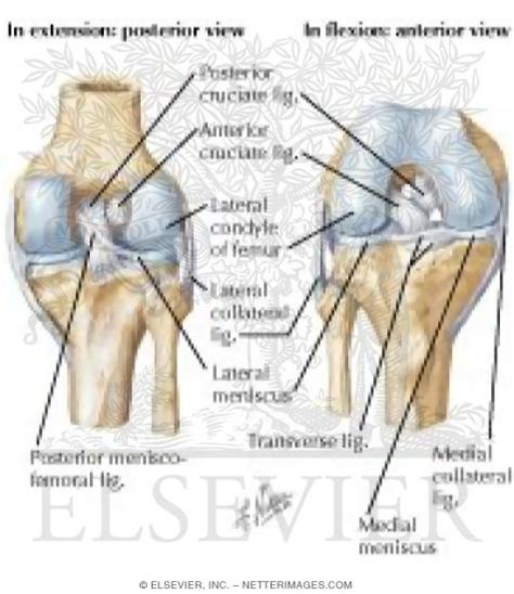 anatomy of a knee joint pictures and labels picture 11