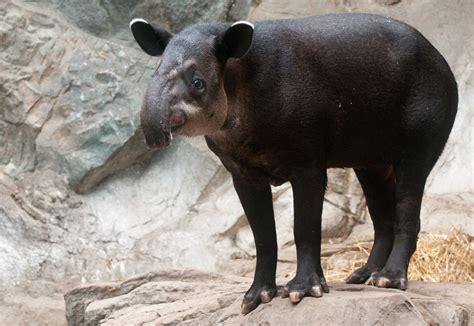 tapir sex picture 10