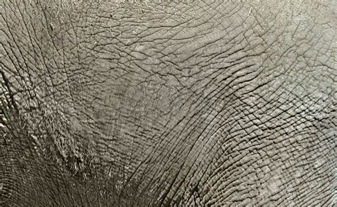 elephant skin picture 3