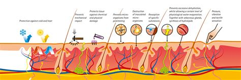 functions of the skin picture 9