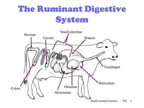 ruminant digestion picture 3