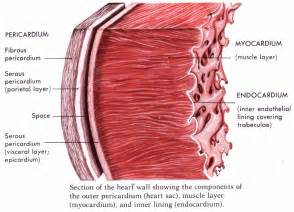 cardiac muscle is found in the wall of picture 3