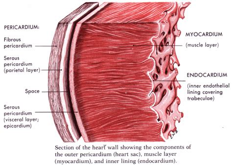 heart muscle picture 11