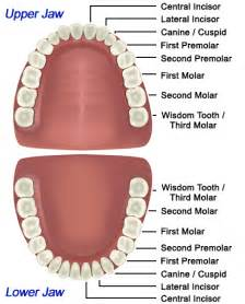 functions of our various teeth picture 14