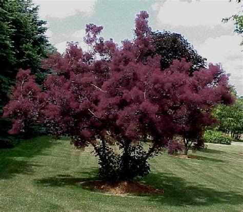 caring for purple smoke trees picture 2