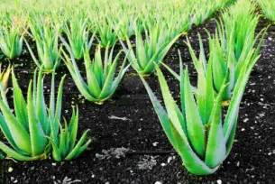 aloe vera stretch marks picture 6