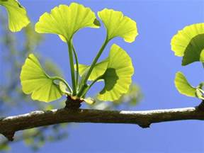ginkgo baloba picture 2