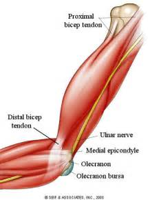 bicep muscle pain picture 14