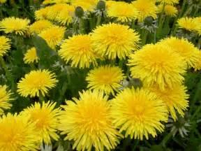 a dandelion picture 14