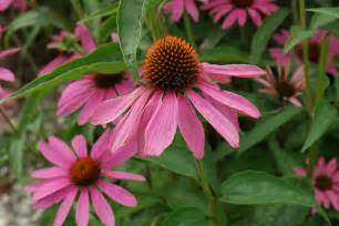 echinacea information picture 3