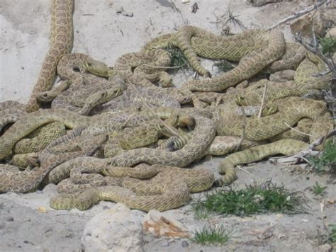 mexican rattlesnake pills bad for you picture 3