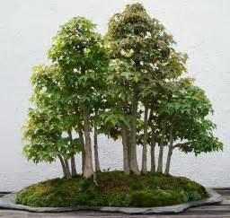 bonsai ginkgo training picture 3