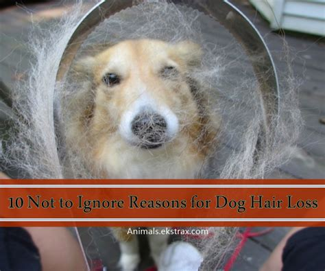 canine loss of hair picture 17