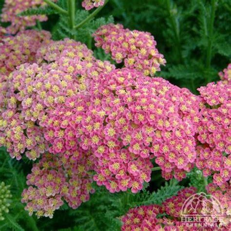 deadhead flowers yarrow picture 1