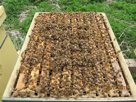 Deviding honey bee hives picture 6