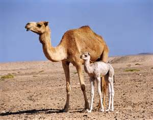camel h pictures picture 2