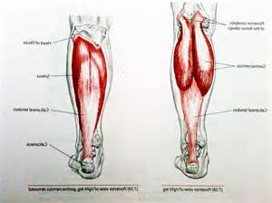 calf muscle picture 5