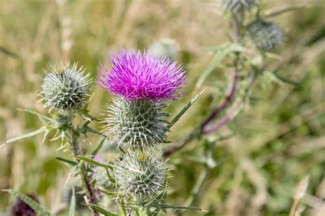 milk thistle and sagging skin picture 10